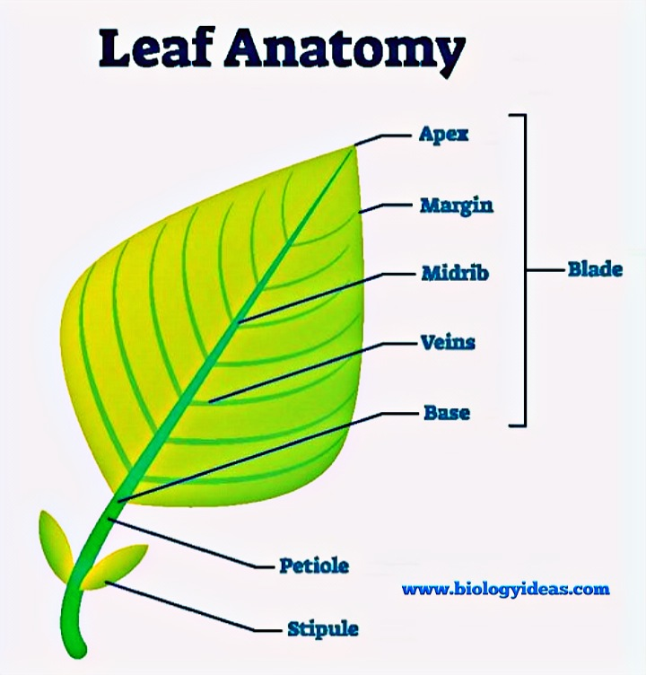 Parts Of Leaf with label, leaves