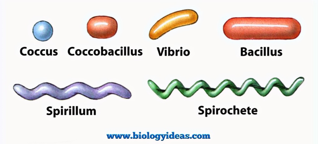 Common Shapes of bacteria